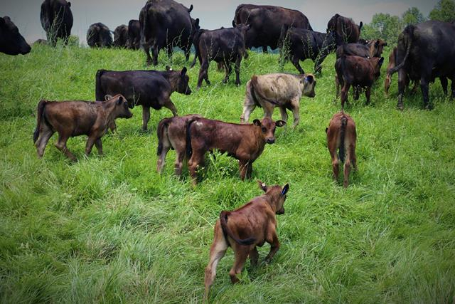 young grass fed angus calves on Showalter's Family Farm