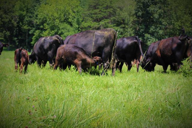 Lush, compost-fertilized grass on Showalter's grass fed angus farm